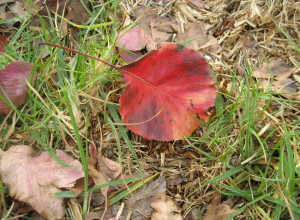 A red leaf from an ornamental pear tree.