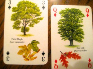 We especially liked the shapes of the leaves on the field maple and red oak, shown here.