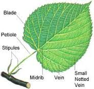 Notice how drawing different parts of your leaf can invite you to make different hand motions.